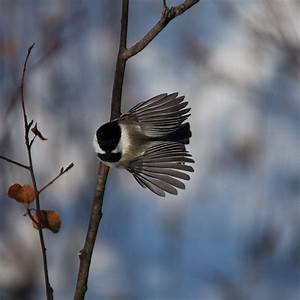Chickadee Flying