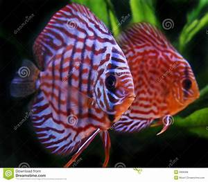 Discus Fish Royalty Free Stock Photos - Image: 2866088