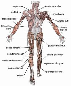 File Muscle Posterior Labeled Png  U2014 Wikimedia Commons