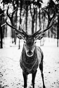Schwarz Weiß Bilder Tiere : hirsch in schwarzwei tiere pinterest reh verliebt und schwarz ~ Markanthonyermac.com Haus und Dekorationen