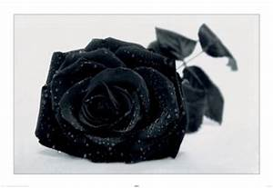 Gothic Black Rose  Rose Wallpapers