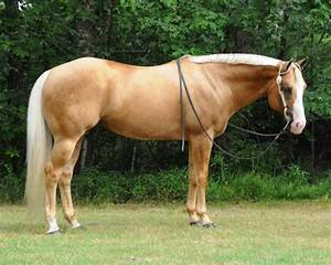 Palomino Horses | Palomino | Home | Perfect Palominos ...