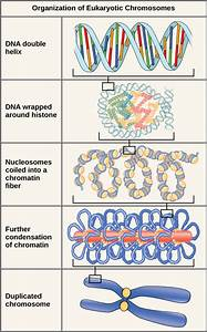 9 1 The Structure Of Dna  U2013 Concepts Of Biology  U2013 1st