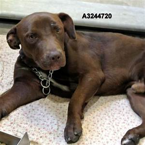 Xander, Chocolate Lab Mix – M.A.I.N. – Medical Animals In ...