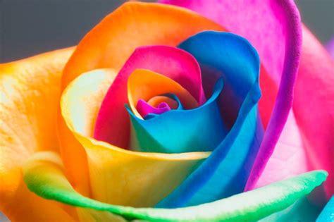 real rainbow roses