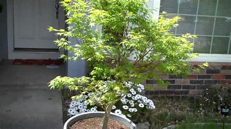 how to grow japanese maple acer palmatum in a pot part 2 a month after mp4