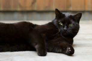 bombay cat bombay cat looks personality and how to care for your