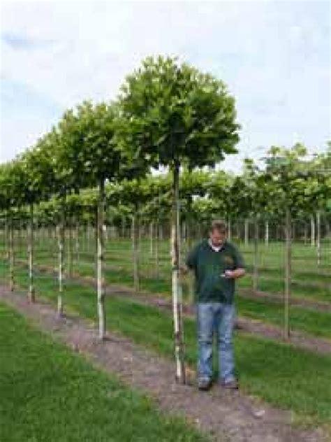 Laubbäume Garten Pflanzen by Platanus Acerifolia Alphen S Globe Pflanzen Laubbaum