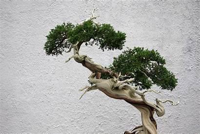 Bonsai Tree Wallpapers