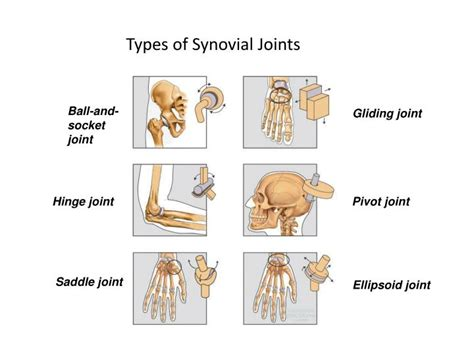 Joints Of The Human Body Powerpoint Presentation