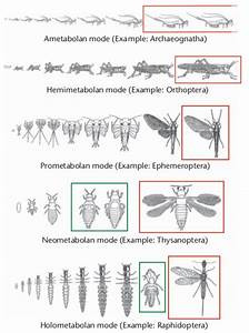 4  The Main Types Of Insect Metamorphosis  Ametabolan