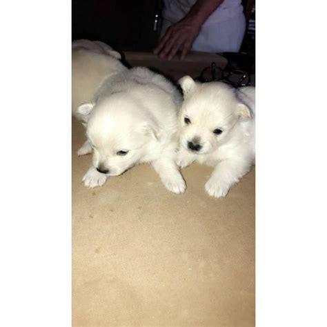 cute baby pom puppies  sale  phoenix arizona puppies  sale
