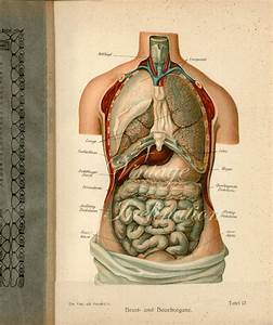 1900 Human Anatomy Print Chest And Abdominal Organs