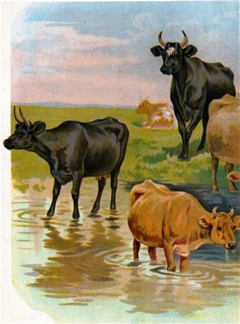 cows  bulls clipart