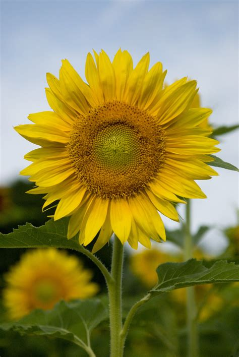 wallpaper bunga matahari hitam putih