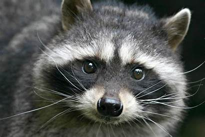 Raccoon Pet Raccoons Pets Animal Thesprucepets Animals