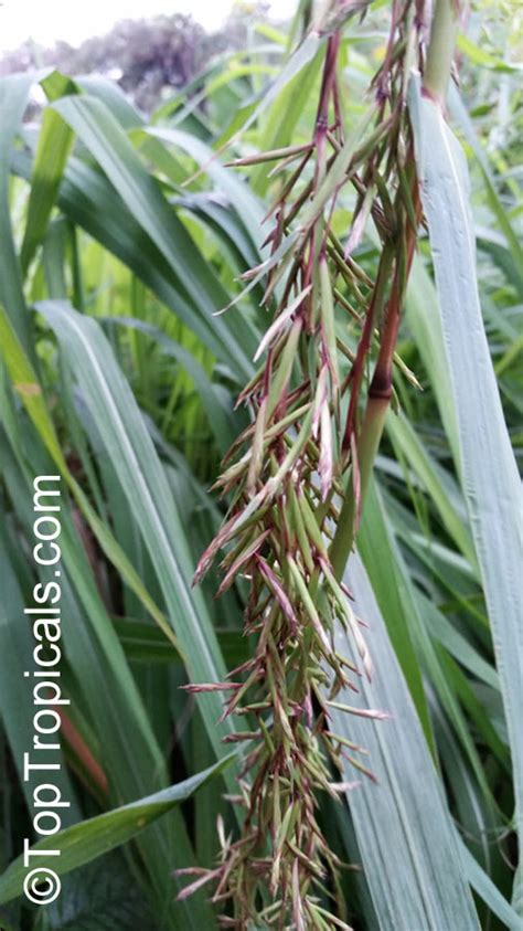 citronella plants for sale cymbopogon citratus lemon grass oil grass toptropicals com