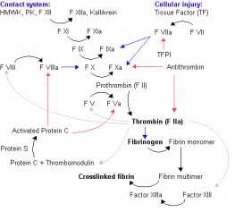 Sēo gerinnungendebyrdness. Rǣdunge endebyrdness: HWMK = Gemotlīce ... Coagulation Factors