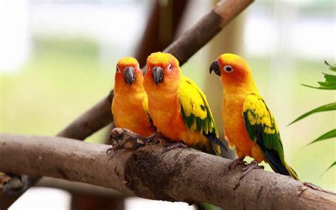 Love Bird Breeds