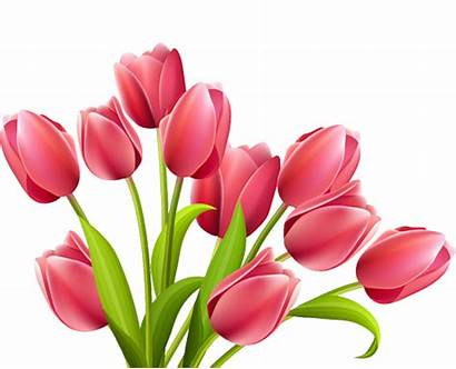Tulip Pink March Bunco Tulips Clipart Flowers