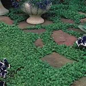 Amazon.com: Outsidepride Dichondra Seed - 1 LB: Garden ...