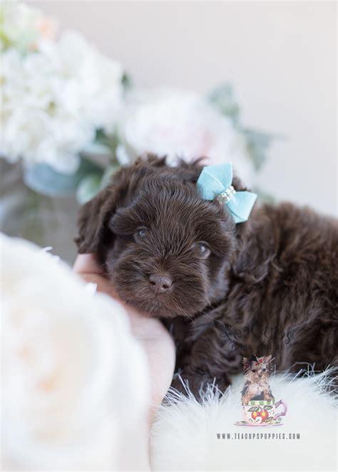 shih tzu poodle mix puppies  sale teacup puppies