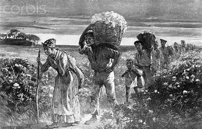 Slaves Fields Cotton Leaving Working Slavery Picking