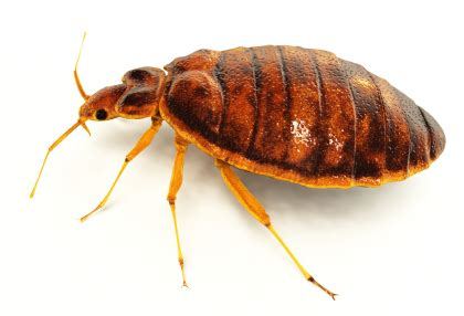Do Bed Bugs Hop by Bed Bug Treatment