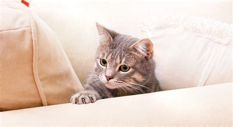 Stop Cat From Scratching Furniture by How To Stop Cats From Scratching Furniture Hepper