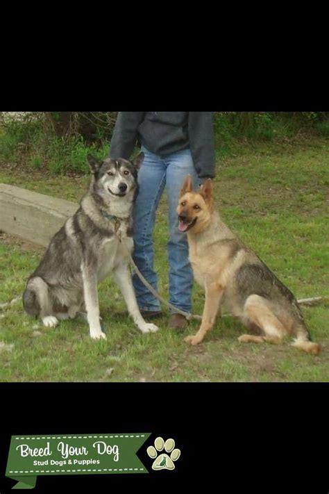 stud dog  wolf  german shepherd breed  dog
