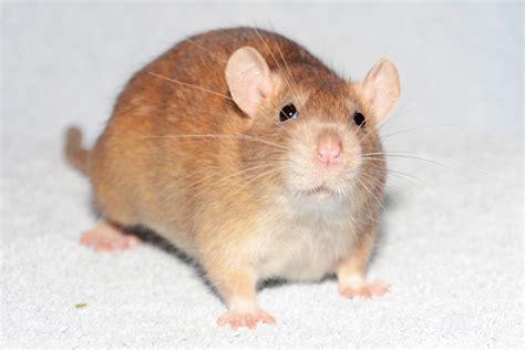 fressen marder ratten was fressen wilde ratten tipps zum ratten kauf ellviva das d rfen ratten nicht fressen ein