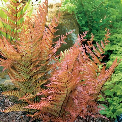 picture of ferns plant brilliance dryopteris fern plant shade 2 perennial for the cabin pinterest ferns