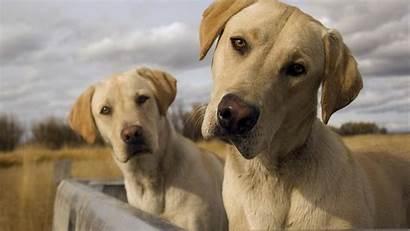 Labrador Dog Animals Dogs