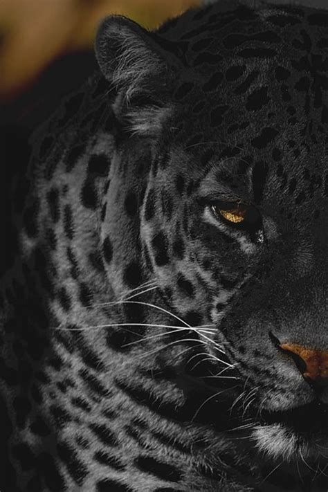 coolest jaguar cat 25 best ideas about black jaguar animal on