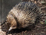 What Is a Spiny Anteater? (with pictures)
