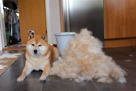 do puggles shed a lot of hair 17 best images about shiba inu on show