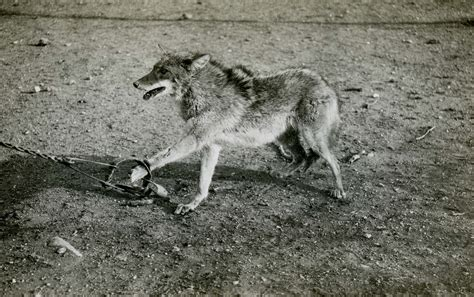 File:Coyote in trap 1909 1918Wikimedia Commons