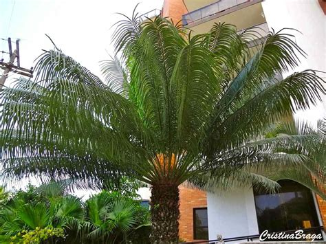 Palmeira samambaia - Cycas circinalis - Flores e Folhagens