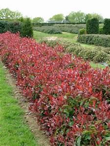 Arbuste Persistant Croissance Rapide : photinia fraseri 39 red select 39 arbustes ~ Premium-room.com Idées de Décoration