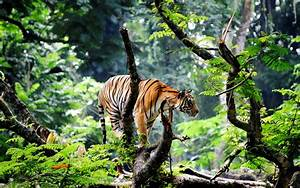 Indian Bengal Tiger in Jungle Wallpaper - New HD Wallpapers