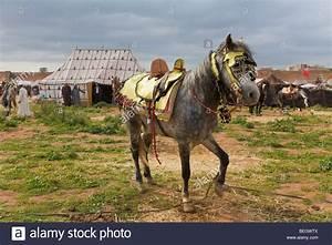 Hobbled horse Meknes Morocco Stock Photo, Royalty Free ...