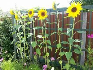 Sonnenblume Im Topf : sonnenblumen und ihr dekorativer wert ~ Orissabook.com Haus und Dekorationen