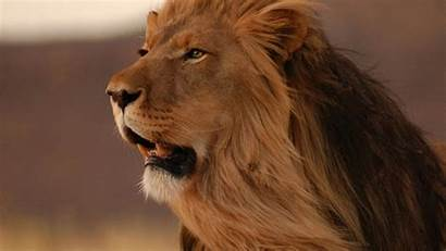 Lion Screensavers King Wallpapers Wallpapersafari Recently Code
