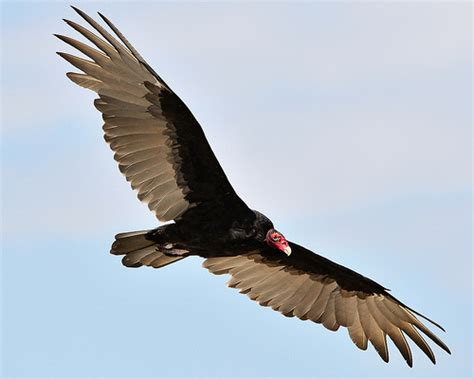 turkey vulture cathartes aura check out his wingspan