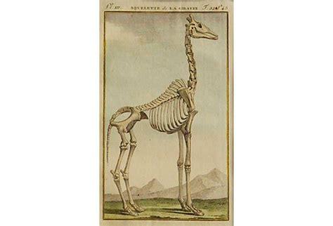 Giraffe Skeleton, 1799 -