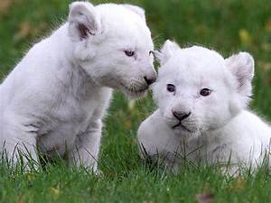 White Lion Baby   www.imgkid.com - The Image Kid Has It!