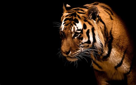 Tiger old mobile cell phone smartphone wallpapers hd desktop. Tiger HD Wallpaper | Background Image | 2560x1600 | ID:78660 - Wallpaper Abyss