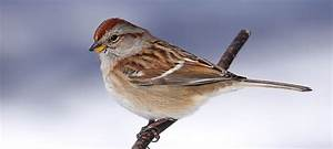 Wild Birds Unlimited  Brown Sparrow Bird With Reddish Head