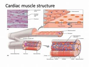 Cardiac Muscle Cells Structure And Function