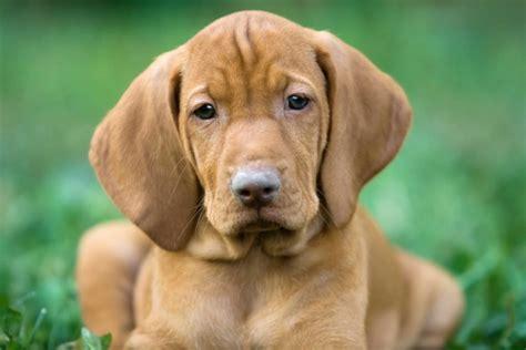 hungarian viszla puppy dog food guru